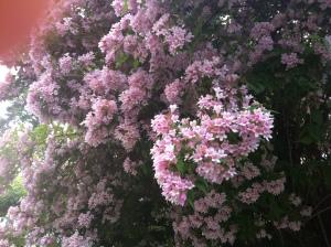 Körsbärsträdblommor